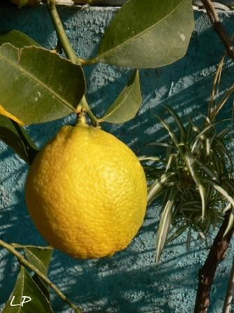 medium_Copie_de_Citron_2007_PhotosLP_P1130668.JPG