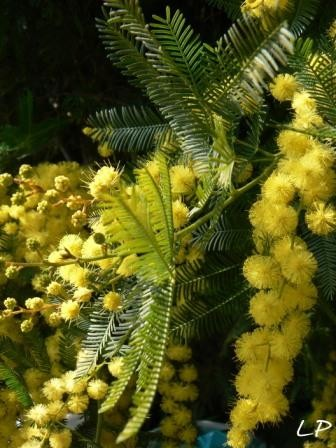 medium_Copie_de_Mimosa_2007_PhotosLP_P1130145.JPG