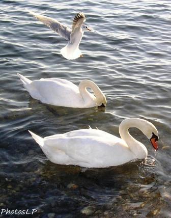 medium_Oiseaux_blancs_de_St_Laurent_du_Var_C_PhotoLP_PB200281.JPG