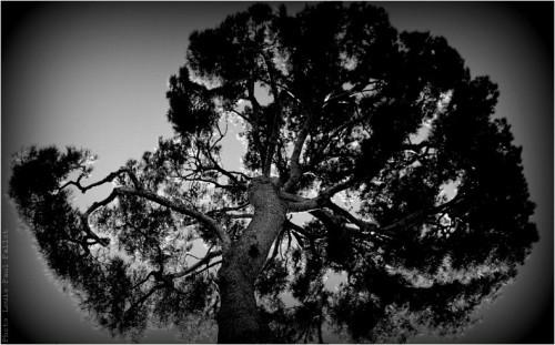 L'arbre du Haut de Cagnes-PhotosLP Fallot (2).jpg