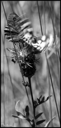 Papillon1-PhotosLP Fallot.jpg