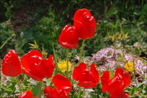 Tulipes-Méailles-Avril 2011-PhotosLP Fallot (4).jpg