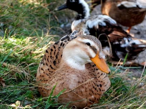 Canards au bord du Loup-PhotosLP Fallot (2).jpg