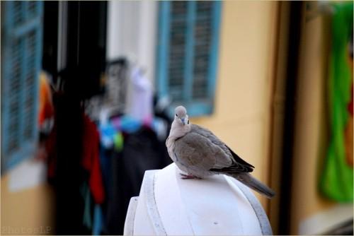 Le conseil du pigeon-PhotosLP-2011.jpg