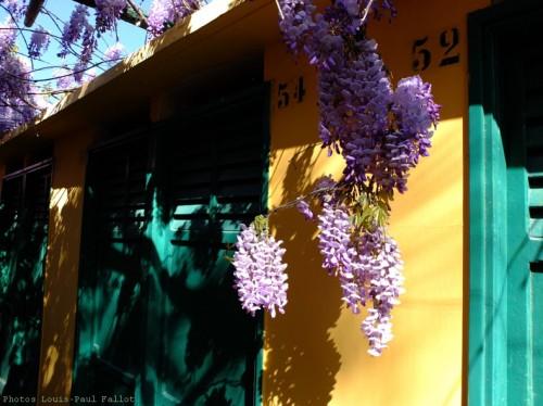 Glycine à San Remo-PhotosLP Fallot (9).jpg