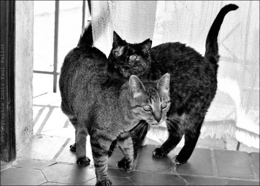 Les chats maison de Méailles-PhotosLP Fallot.jpg