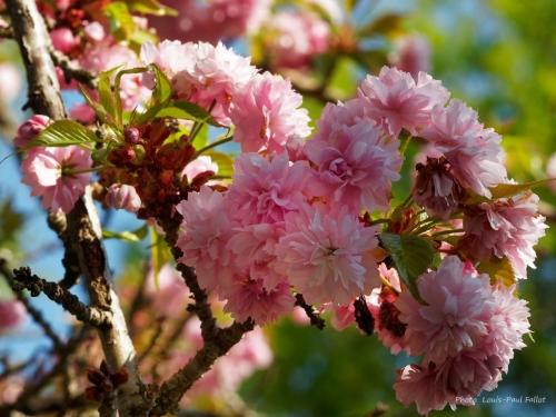 cerisier_P4120256.jpg