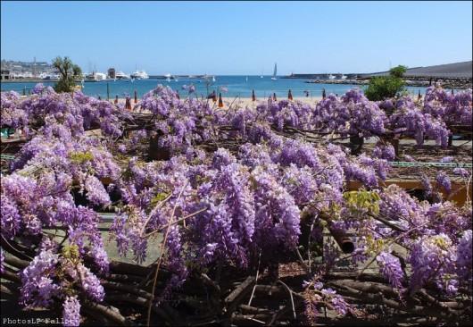 Glycine à San Remo-PhotosLP Fallot (2).jpg