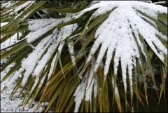 Palmiers sous la neige à Nice-PhotosLP Fallot.jpg