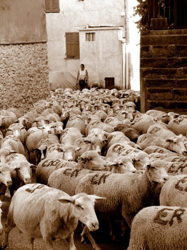 Moutons dans le village-PhotosLP Fallot (14).jpg