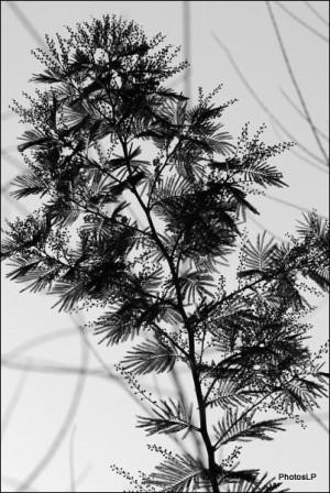 MIMOSAS 2009- PhotosLP.jpg