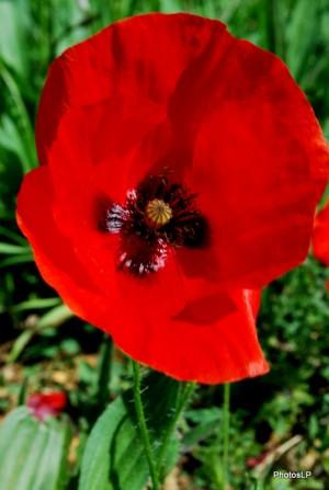 Fleurs rouges -PhotosLP Fallot (4).JPG