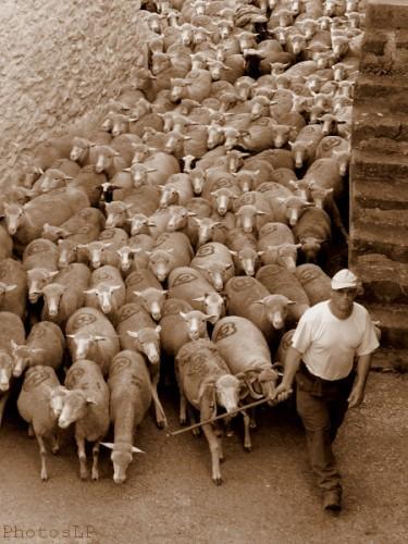 Moutons dans le village-PhotosLP Fallot (1).jpg