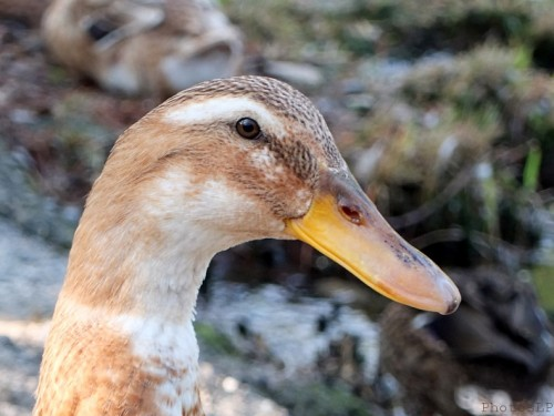 Canards au bord du Loup-PhotosLP Fallot (1).jpg