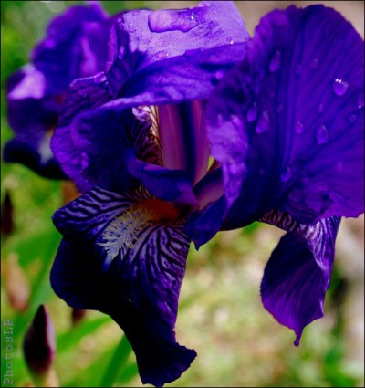 iris,8 mai,robert desnos,poème,photo,printemps