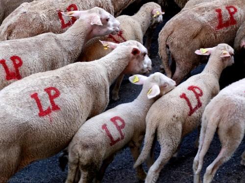 Moutons dans le village-PhotosLP Fallot (15).jpg