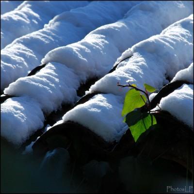 Du vert sur un toit blanc-PhotosLP fallot.jpg