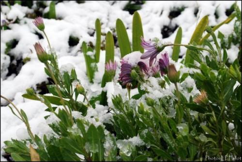 Fleurs sous la neige à Nice-PhotosLP Fallot.jpg