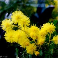 Mimosa-PhotosLP Fallot (3).jpg
