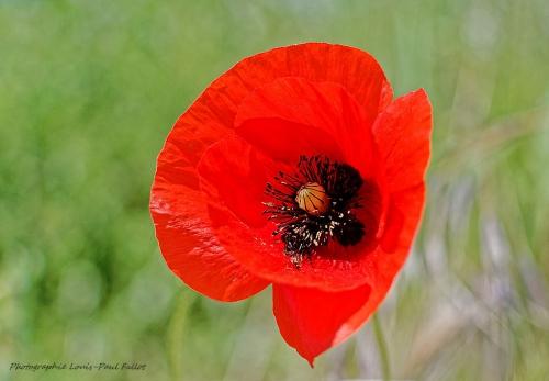 coquelicot,mai,poème,printemps