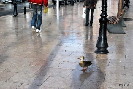 Canard sur le Cours-PhotosLP.JPG