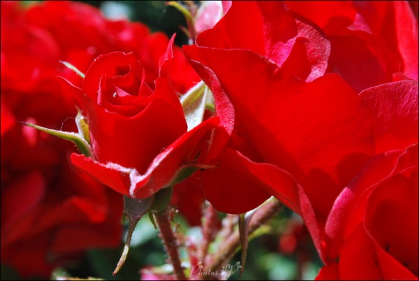 Roses-PhotosLP.jpg