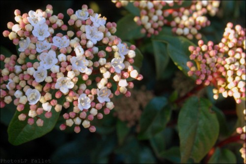 Fleurs en hiver-PhotosLP Fallot (1).jpg