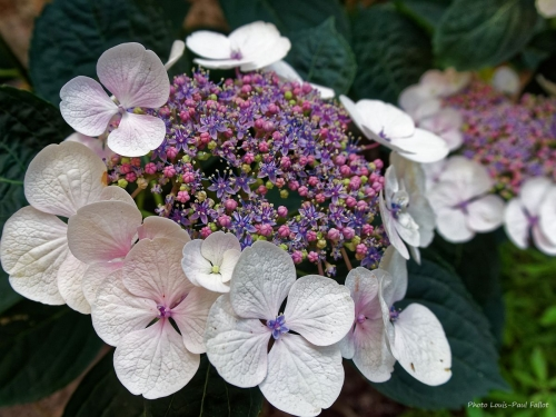 Hortensia_Photo LP Fallot.jpg