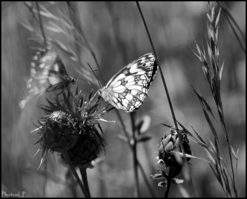 Papillon2-PhotosLP Fallot.jpg