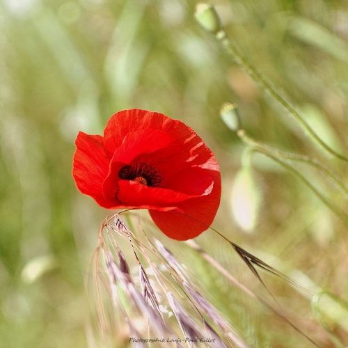 Coquelicot_Photo LP Fallot.jpg