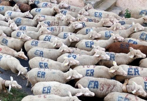 Moutons dans le village-PhotosLP Fallot (13).jpg