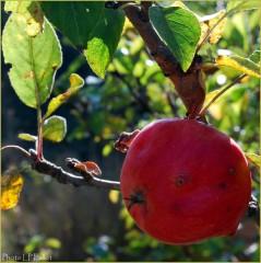 Pomme en automne-Photo LP Fallot.jpg