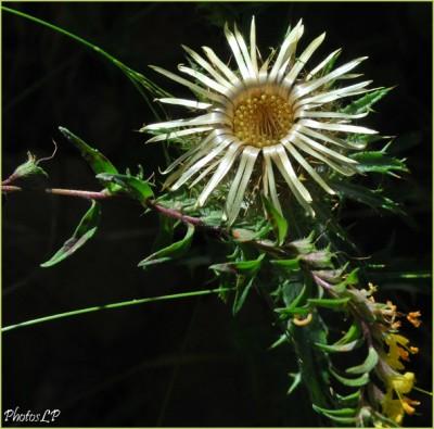 Fleurs de septembre-PhotosLP-2010.jpg