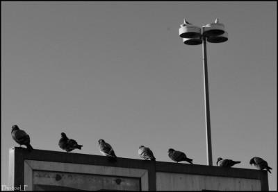Les pigeons du centre commercial-PhotosLP-2009.jpg