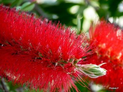 Fleurs rouges -PhotosLP Fallot (7).JPG