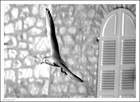 Mouette au port du Cros-PhotosLP-2008.jpg