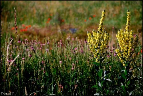 Fleurs des champs-PhotosLP Fallot.jpg