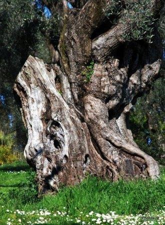 Le vieil arbre- du Parc Renoir -PhotosLP-2009.JPG