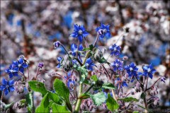 Petites fleurs bleues-PhotosLP.jpg