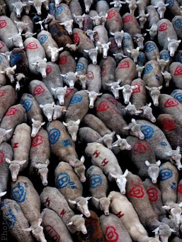 Moutons dans le village-PhotosLP Fallot (3).jpg