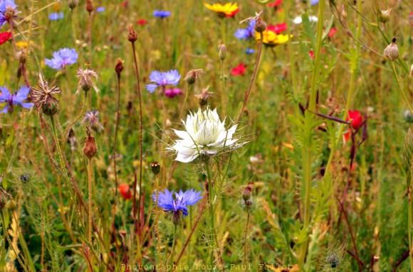 Fleurs des champs_DSC_0085.jpg
