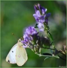 Papillon d'automne-PhotosLP-2008.jpg