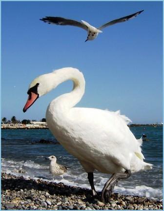 Oiseaux blancs-PhotosLP-Septembre 2008.jpg