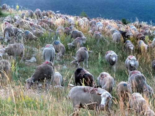 Moutons dans le village-PhotosLP Fallot (4).jpg