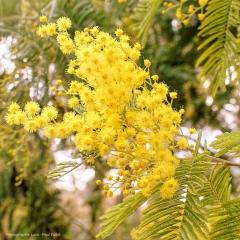 Mimosa-PhotosLP Fallot.jpg