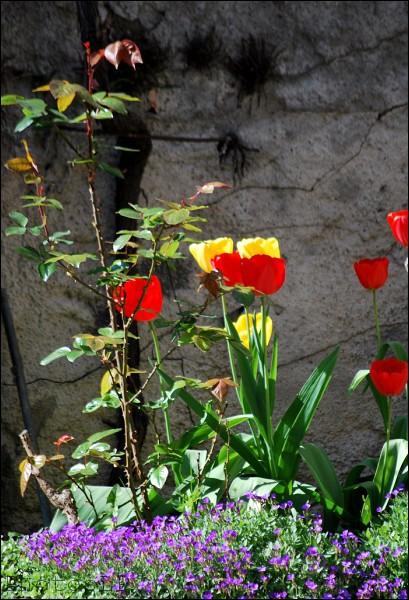 Tulipes-Méailles-Avril 2011-PhotosLP Fallot.jpg