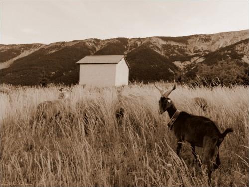 Moutons dans le village-PhotosLP Fallot (6).jpg