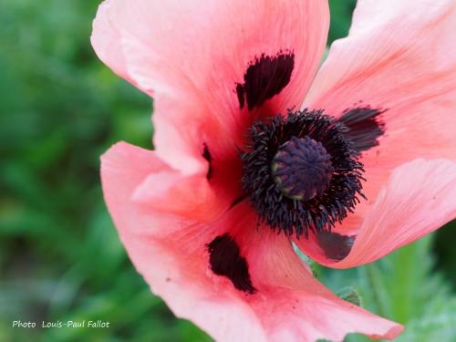 pavot  d''orient,fleurs,coquelicot