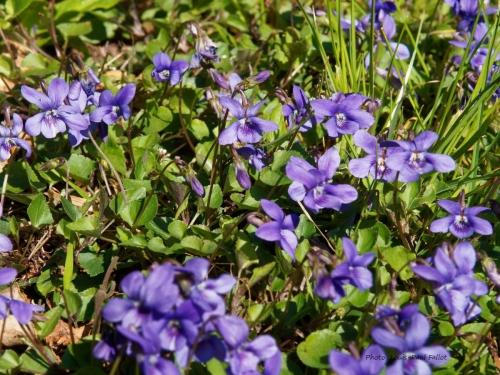 violettes_P3300230.jpg