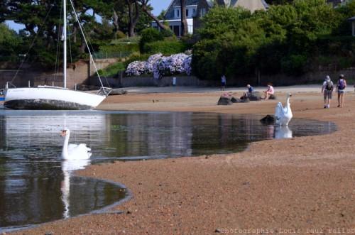 Un cygne avance sur l'eau-PhotosLP Fallot (1).jpg
